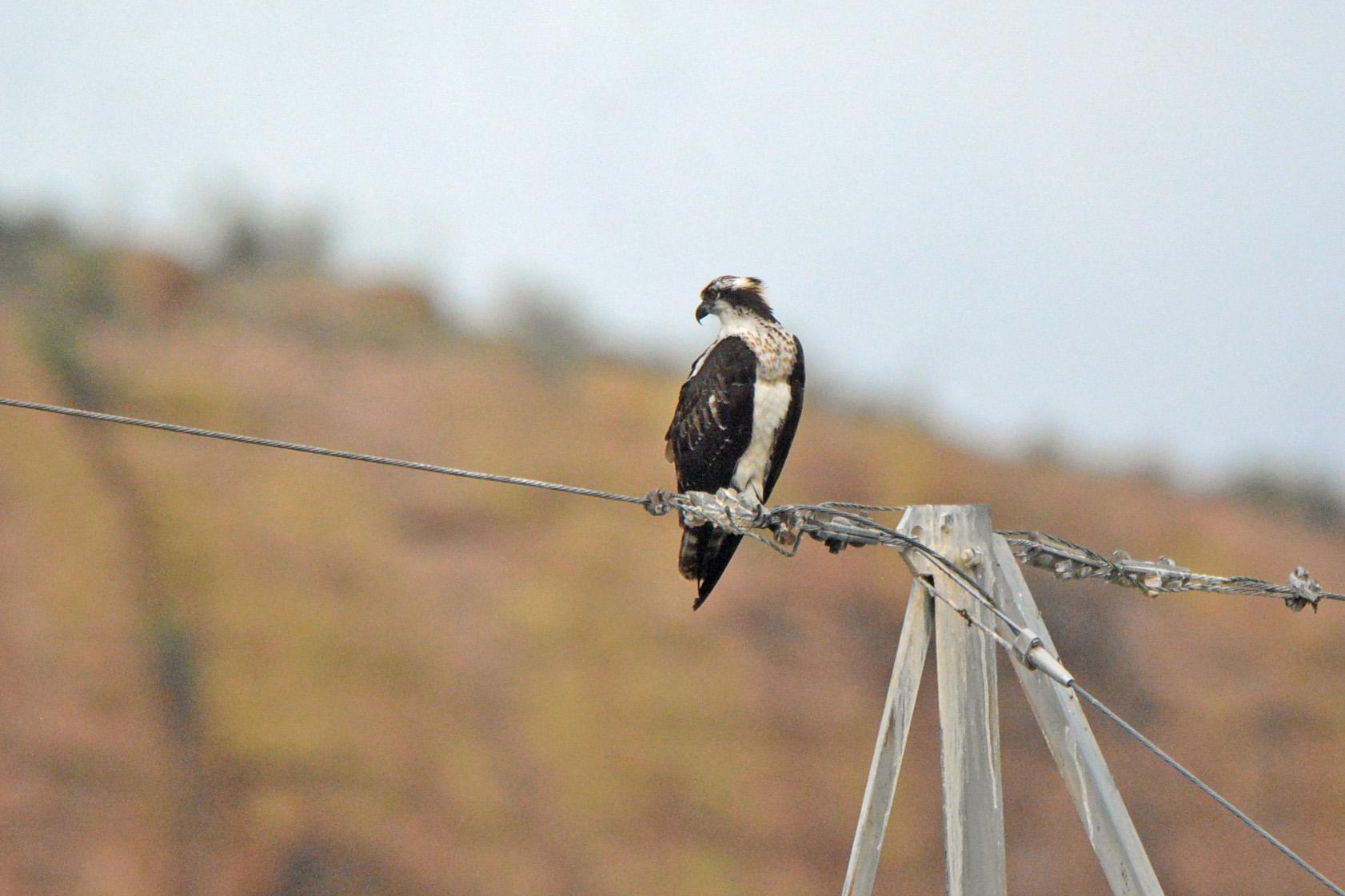 Osprey on Wire