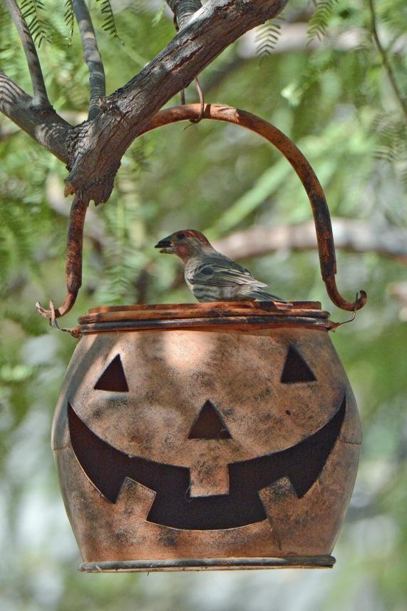 Pumpkin Finch