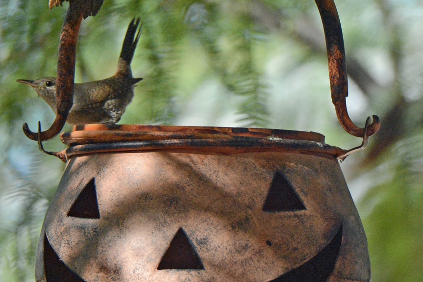 House Wren_edited-1