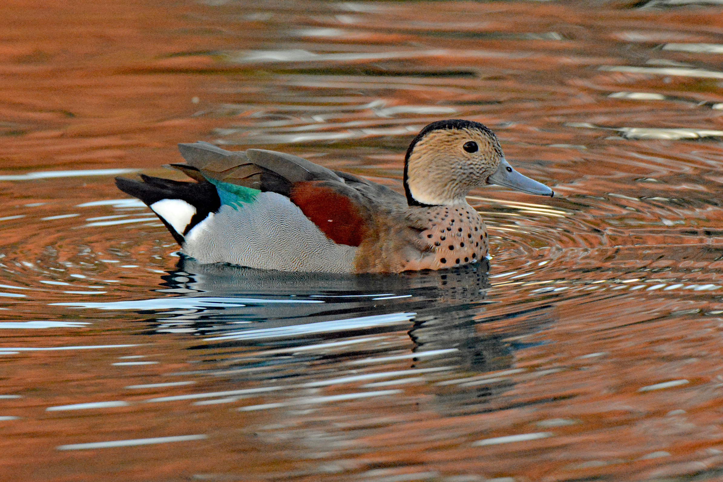 Ringed Teal 1