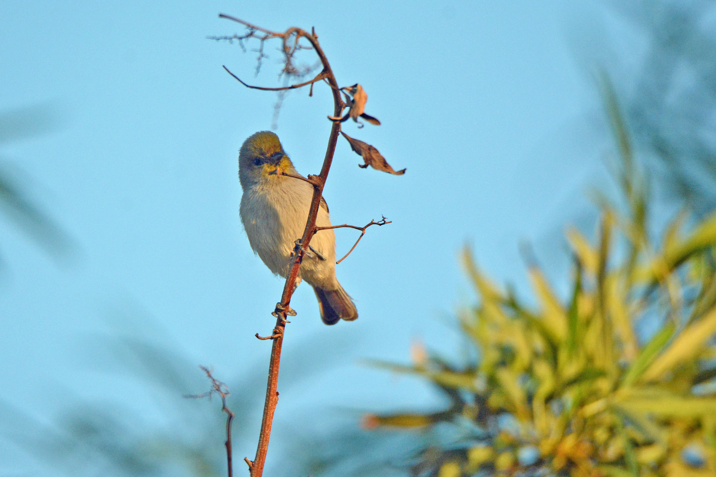 Verdin on Dead Branch