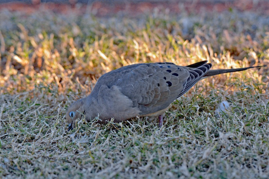 Mourning Dove Sublime