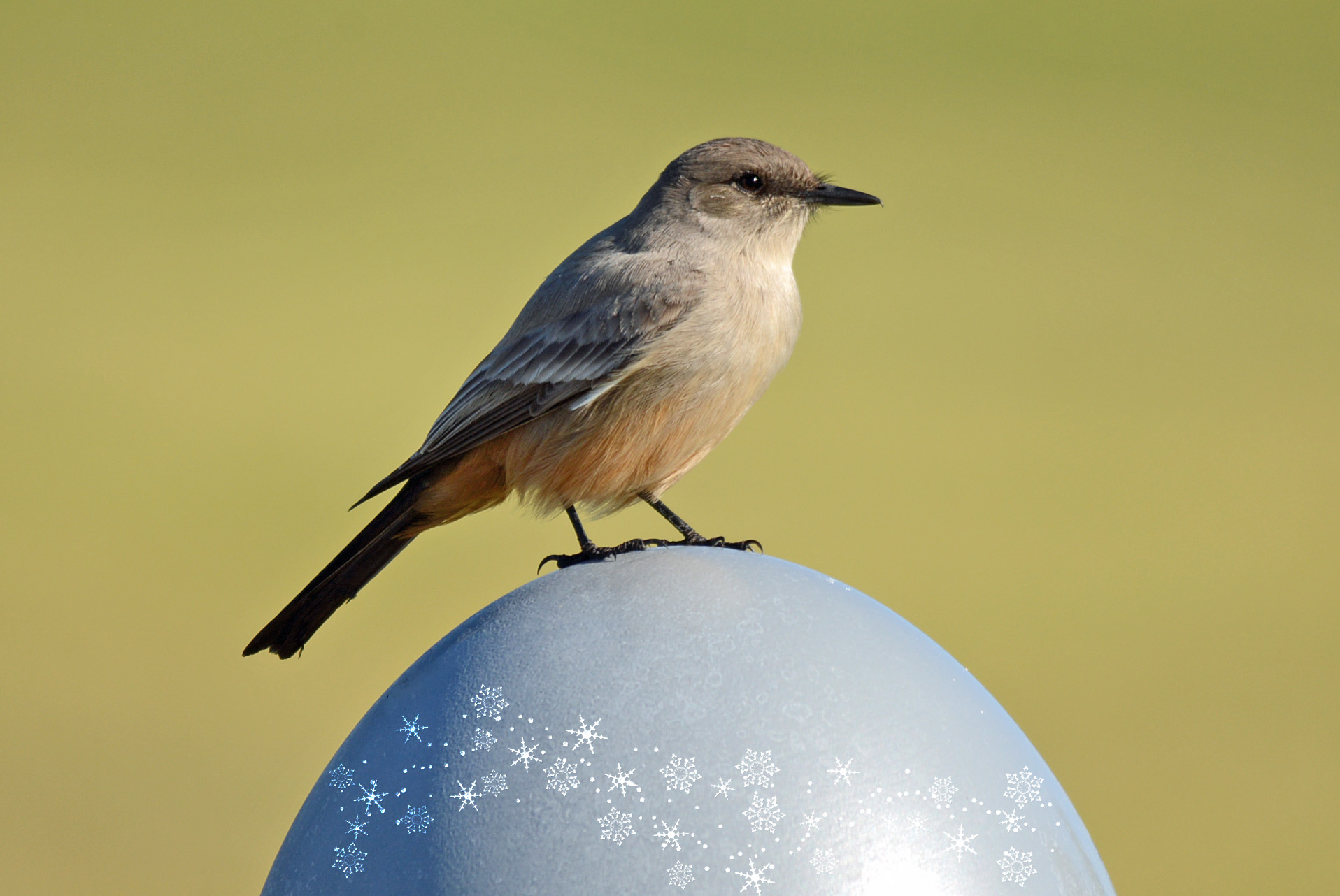 Say's Phoebe Ornament