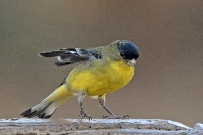 Goldfinch 12.2