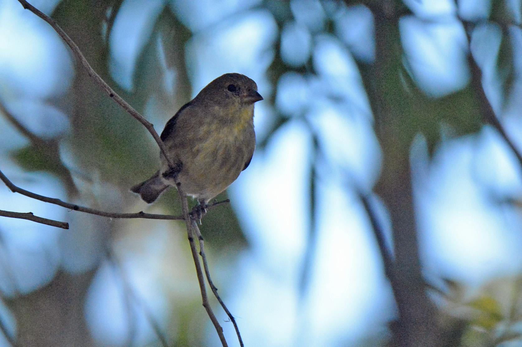 Lesser Goldfinch 11.25