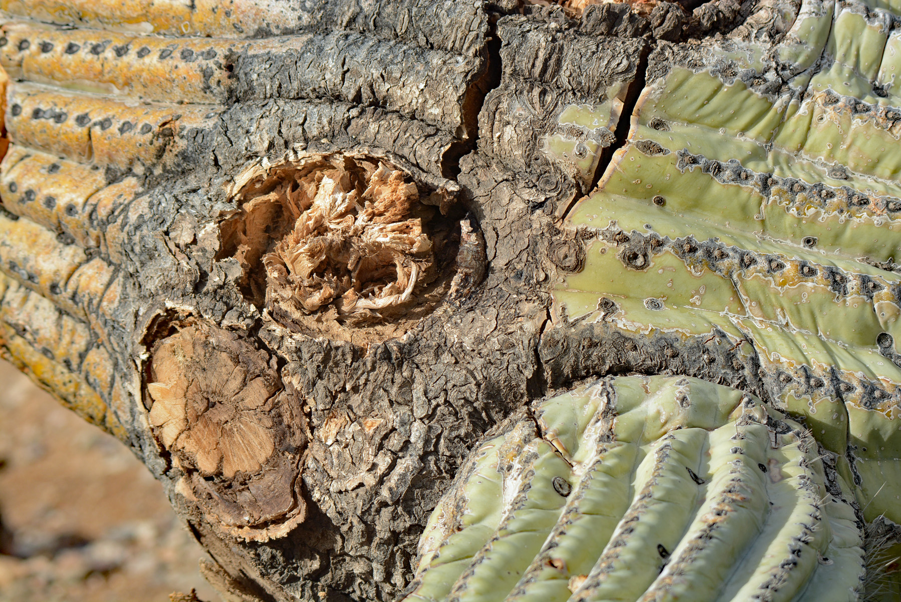 downed cactus