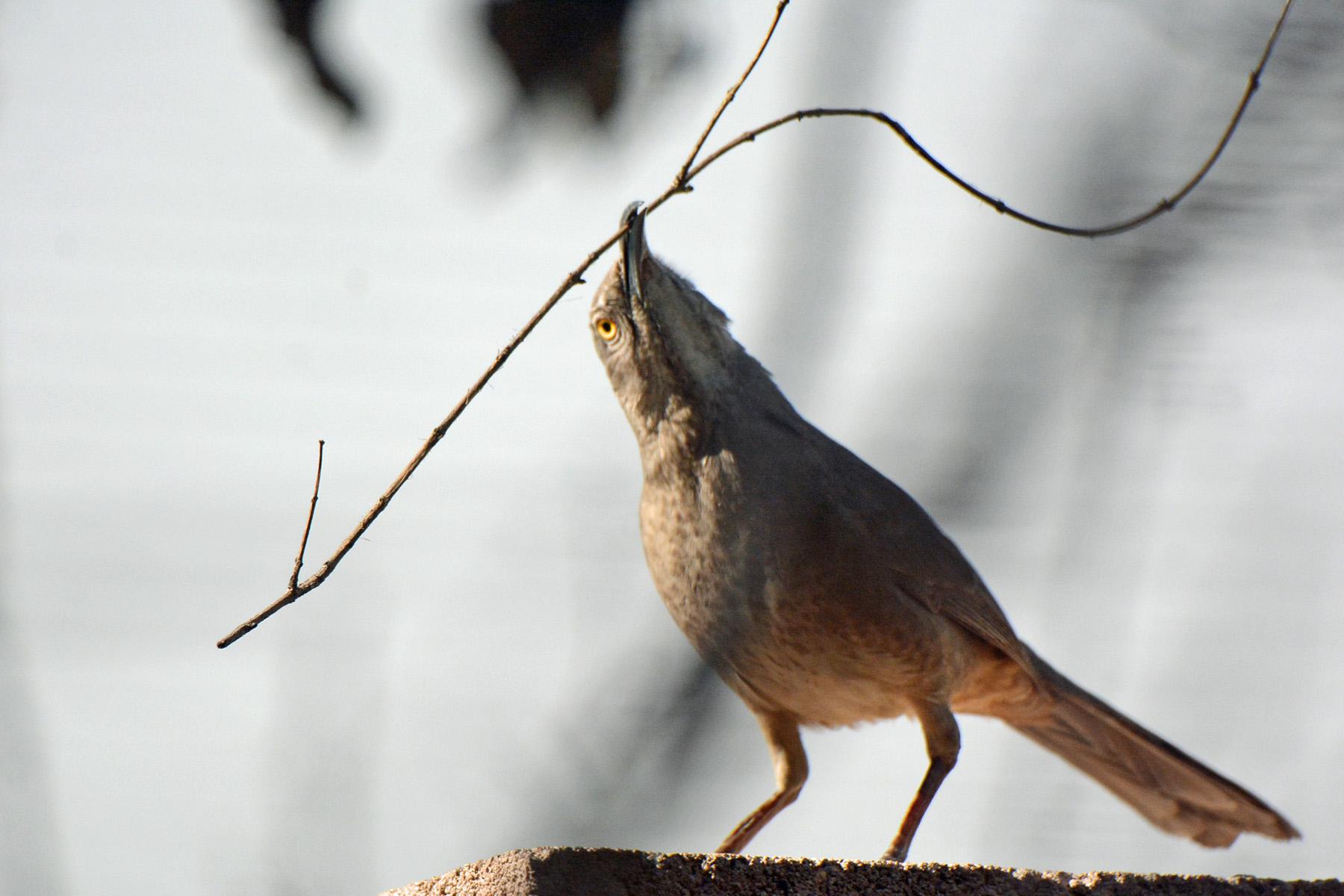 thrasher nest builder