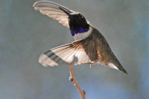BCHU Fly 3.25