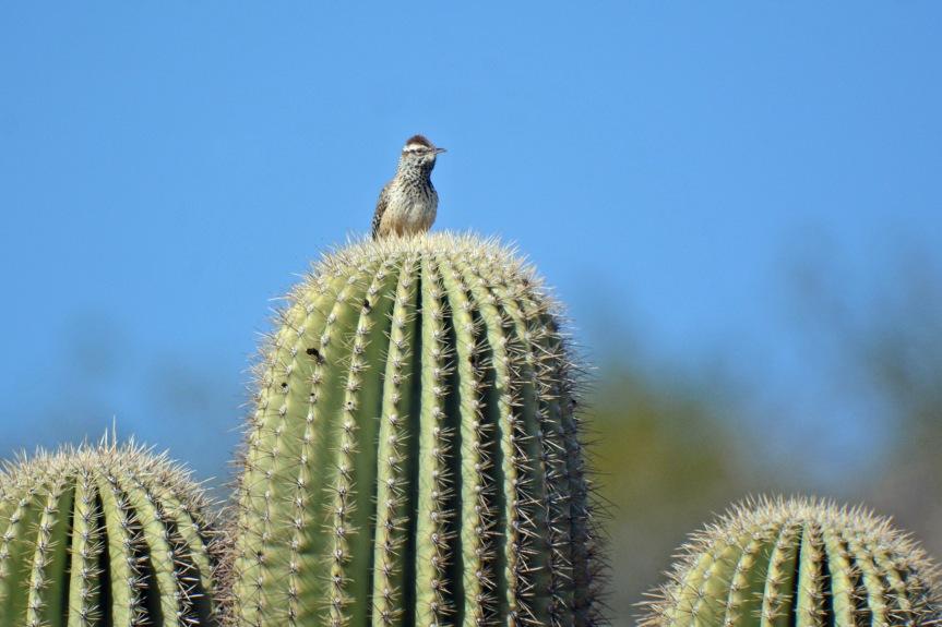 Cactus Wren 3 Sag