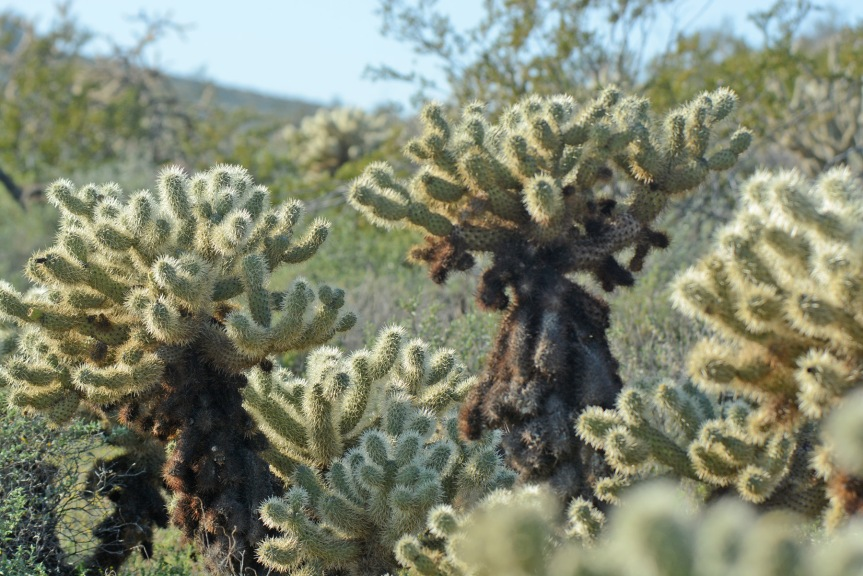 Glowing Cholla 2