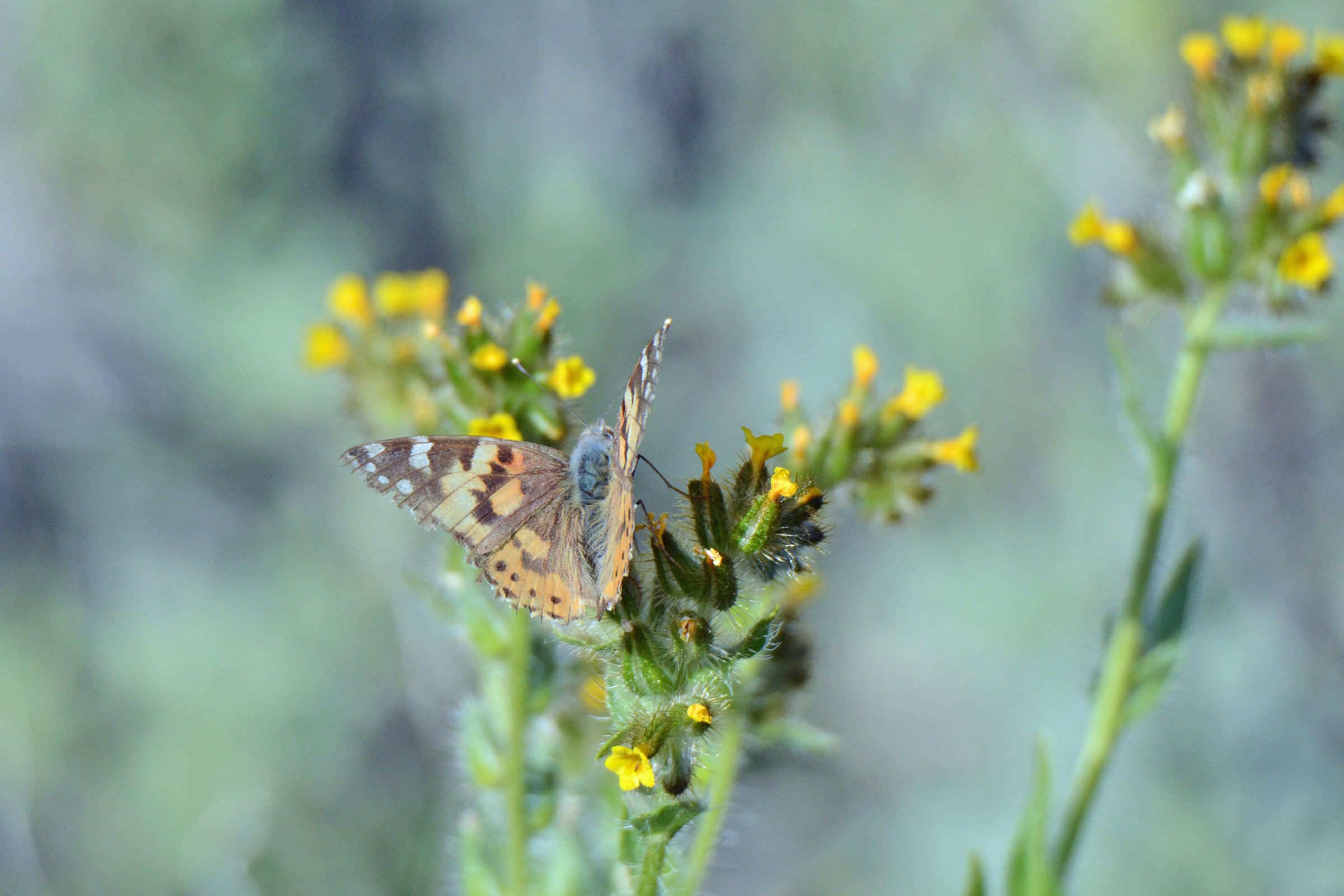 Painted Lady PSP