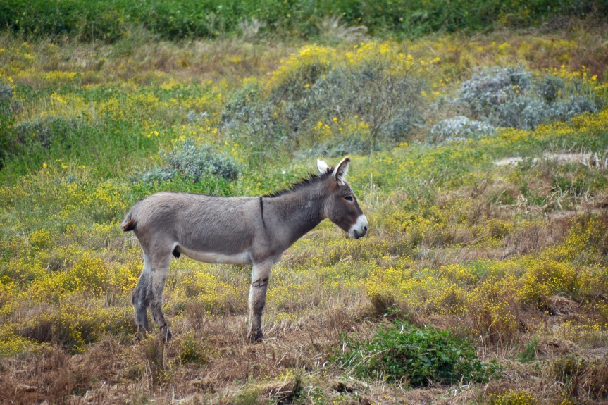 Burro in Field