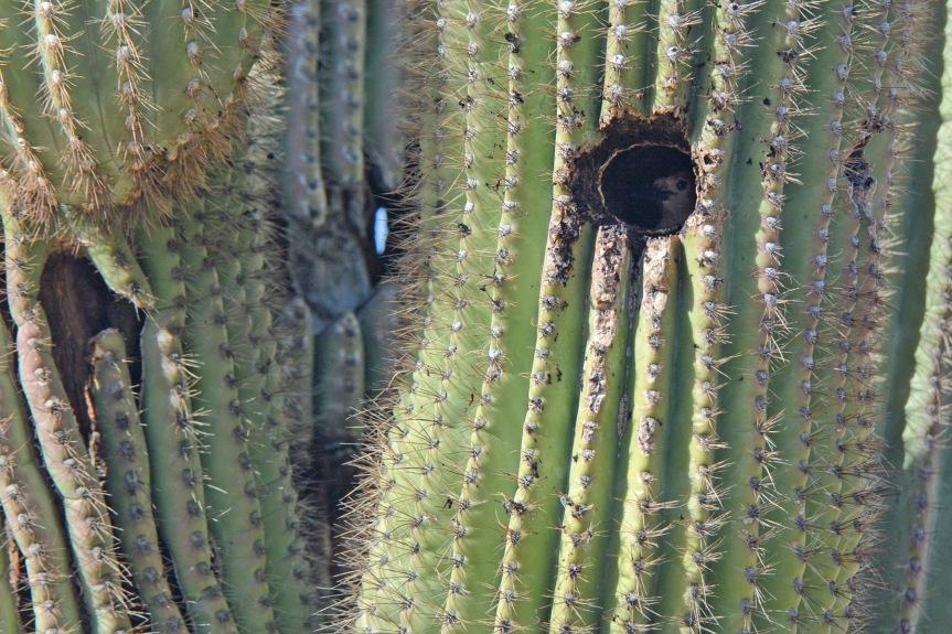 Gila in Cactus 1