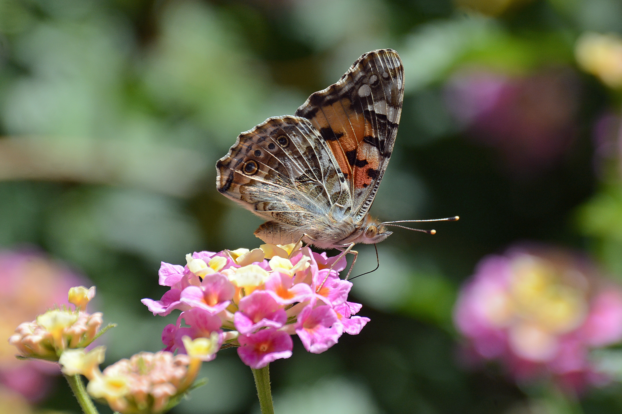 Painted Lady 4.13