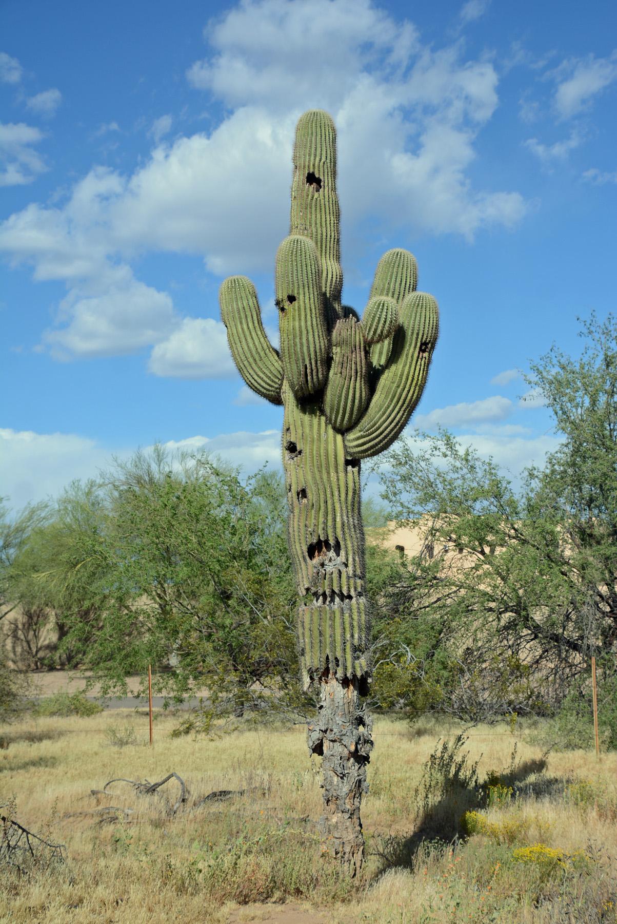 Saguaro R11