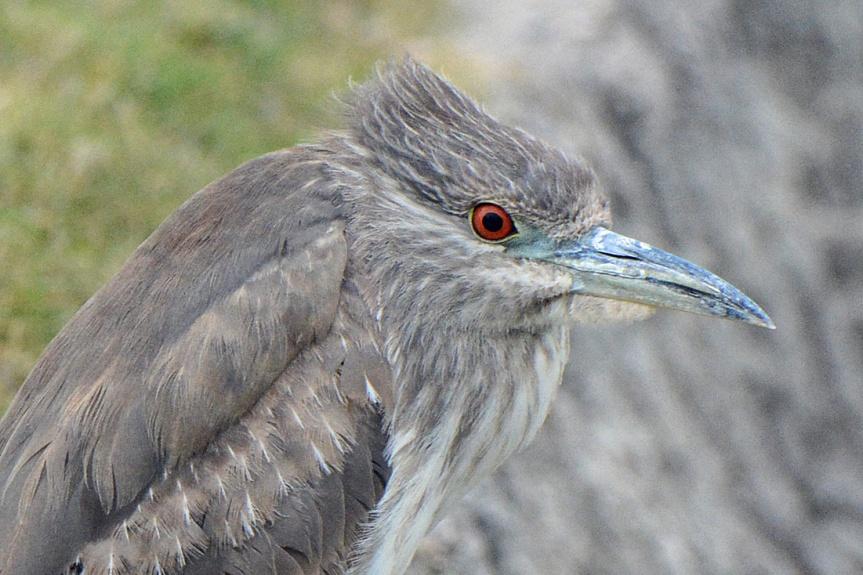 BCNH Closeup