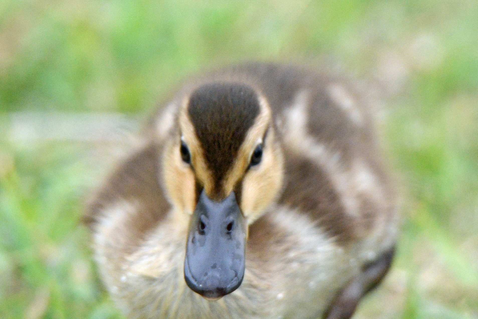 Ducky Closeup