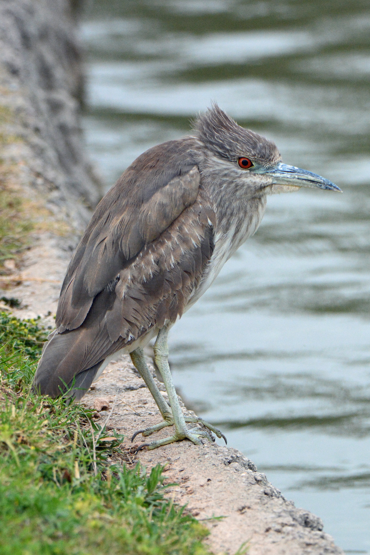Night-Heron 1