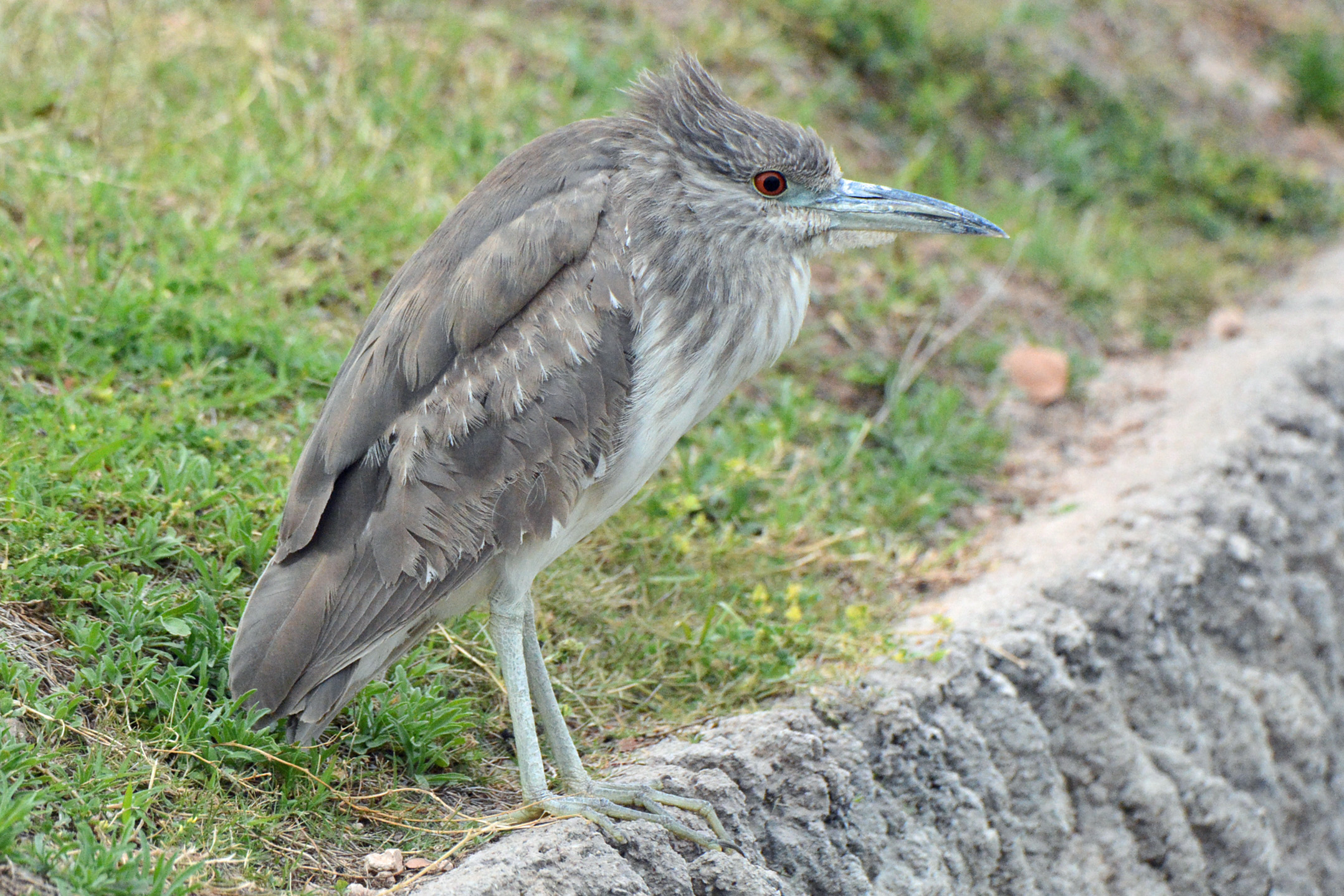 Night-Heron 2