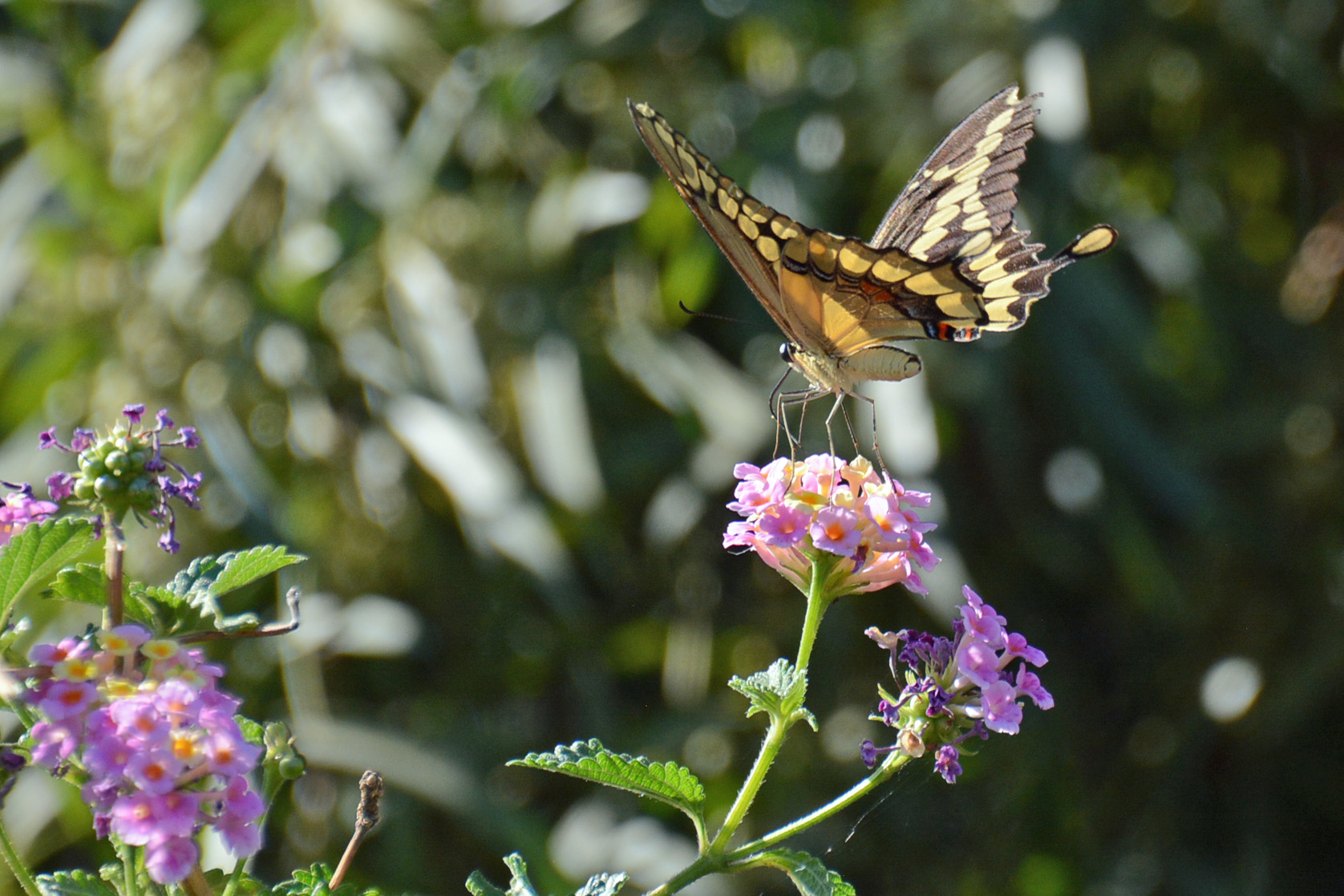 Swallowtail 4.27