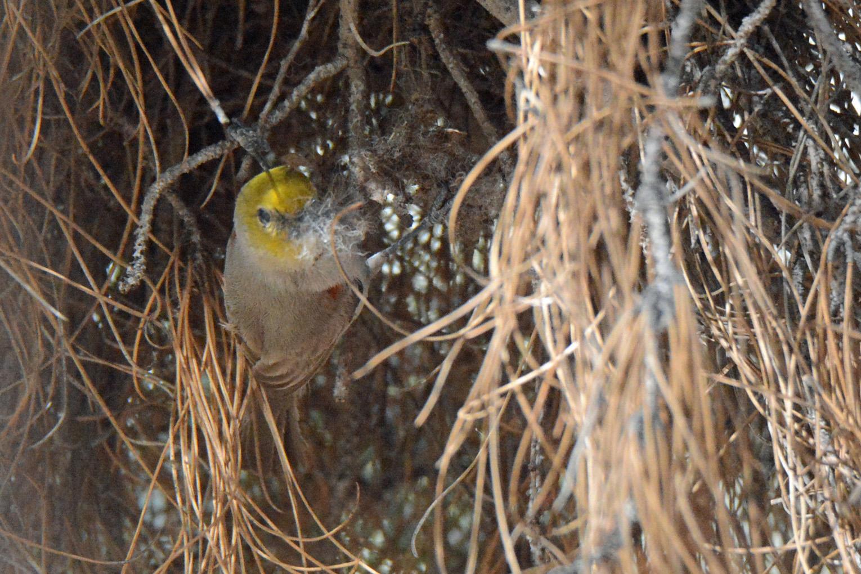 Verdin Nest Making_edited-1