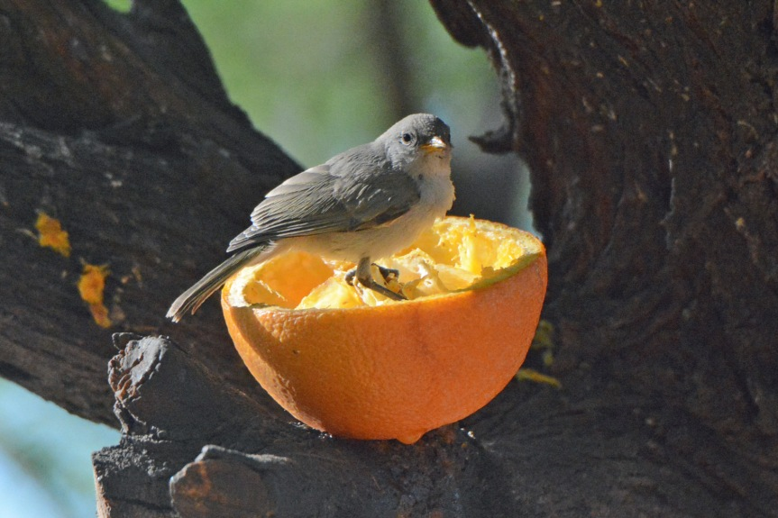 Baby Verdin in Orange 2