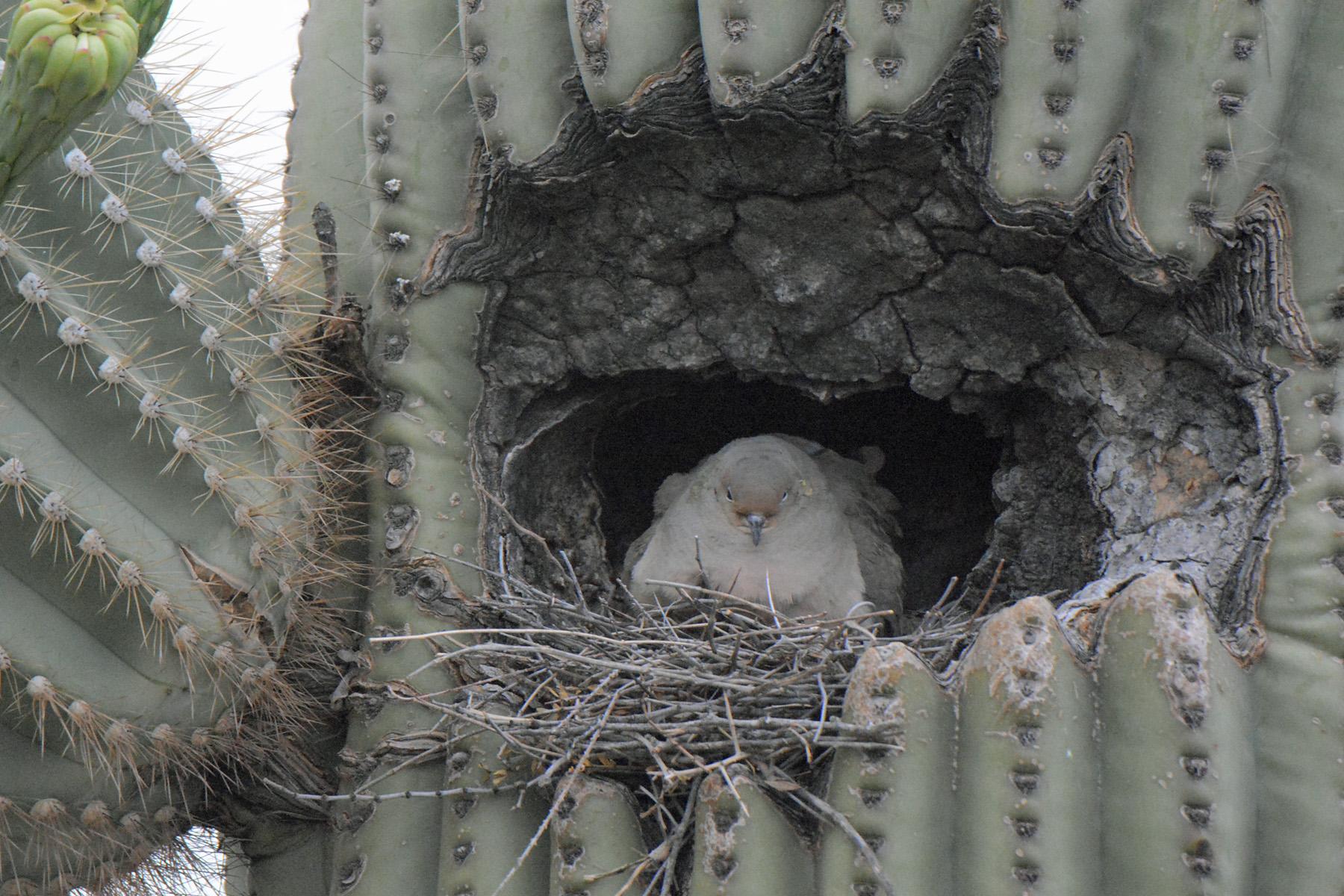 Dove in Nest