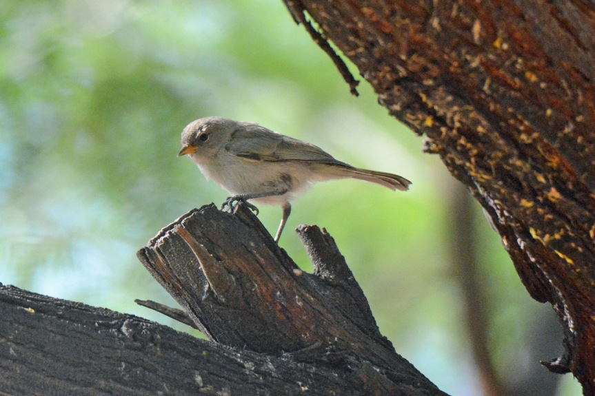 Verdin in Tree