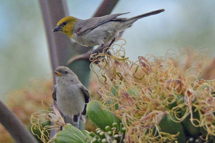 Verdin Juvy and Adult