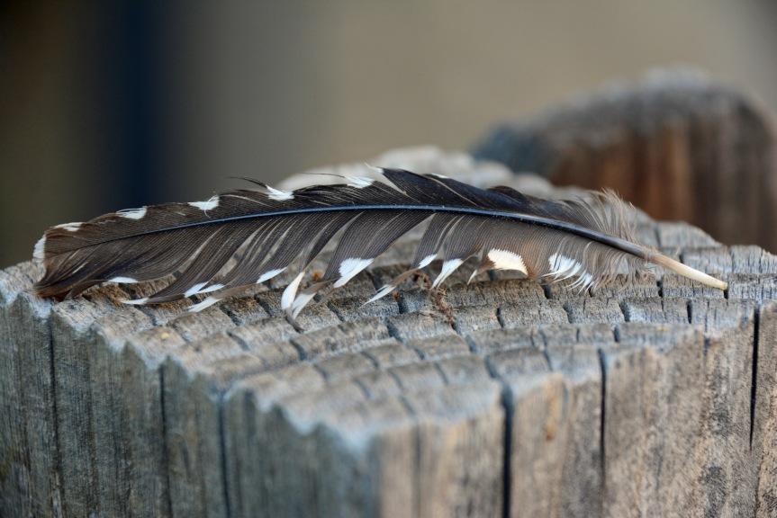 Gila Feather