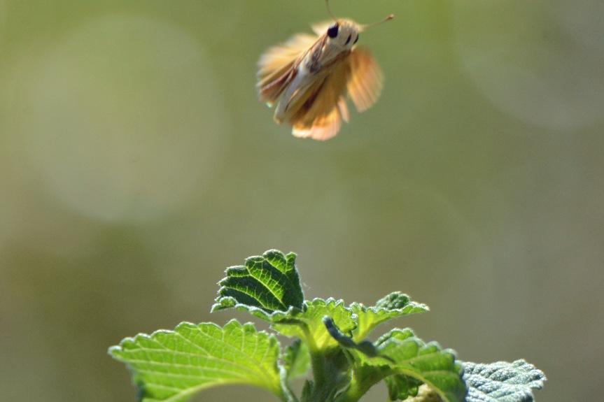 Skipper Fly Blur