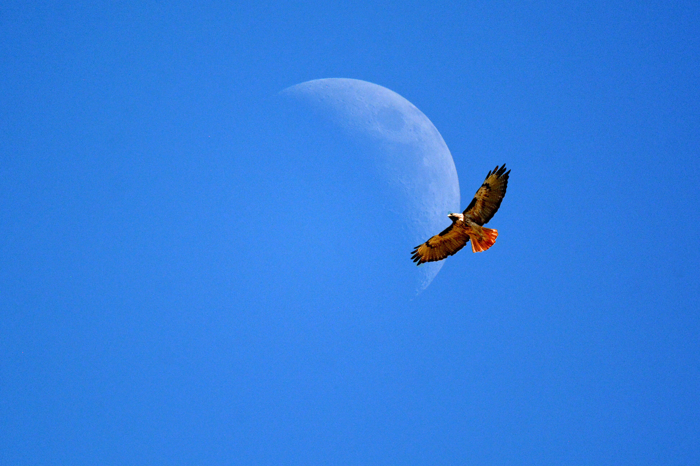 Moon_edited and Hawk
